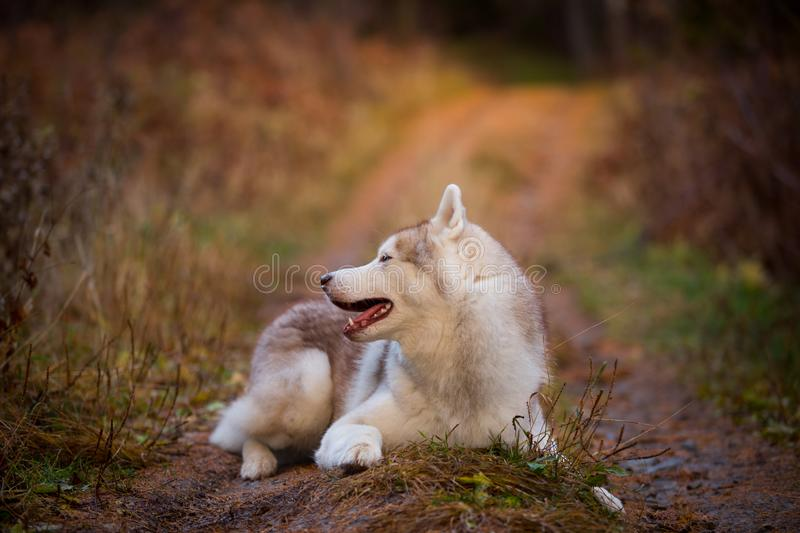 Profile Portrait of beautiful Siberian Husky dog lying on the path in the bright autumn forest royalty free stock photos