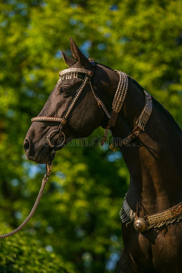In profile portrait of beautiful young dark brown stallion of Akhal Teke horse royalty free stock image