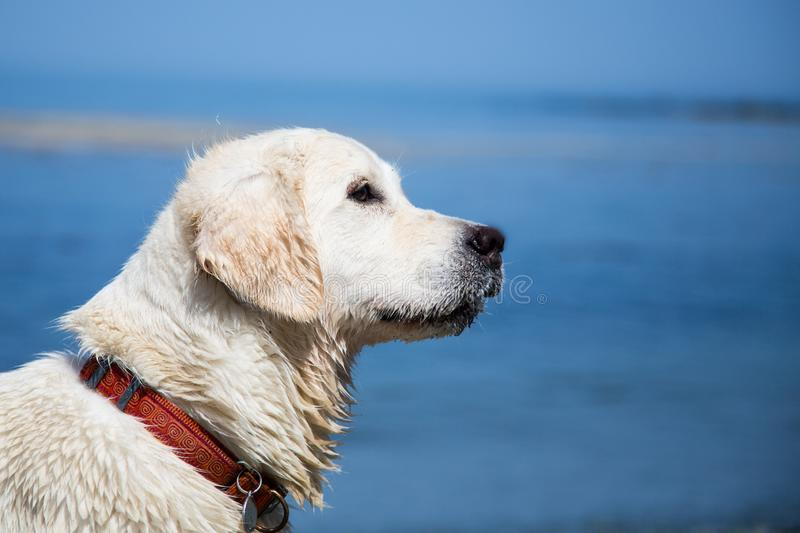Profile portrait of beautiful and young white dog at the seaside in summer. stock photography