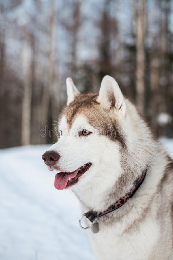 Profile Portrait of beige and white siberian husky dog with tonque out in winter forest with trees background royalty free stock image