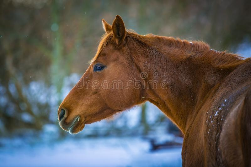 In profile portrait of chestnut horse on a winter day stock image
