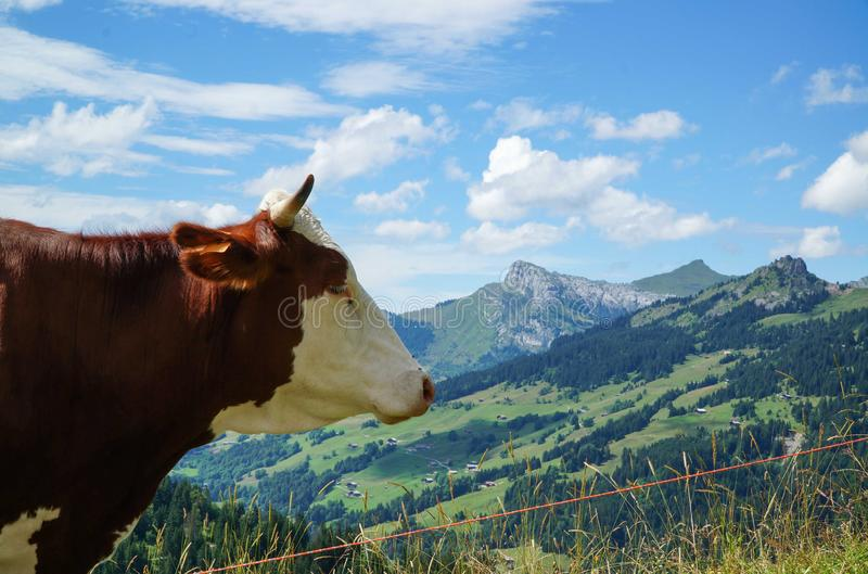 Profile portrait of a cow in the Alps.  royalty free stock photos