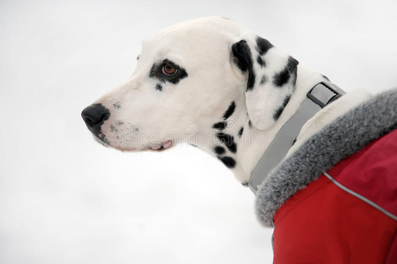 Profile portrait of Dalmatian dog in a red coat in winter royalty free stock images