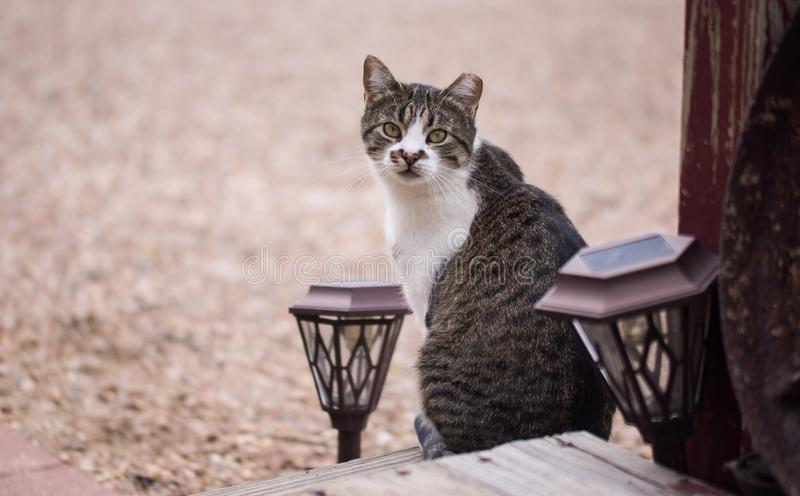 Profile portrait of domestic cat. Profile portrait of domestic short haired grey and white cat sitting on wooden porch stock photos