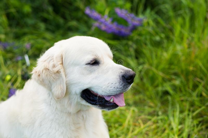 Profile portrait of friendly golden retriever dog in the green grass and violet flowers stock photography