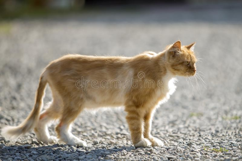 Profile portrait of ginger orange grown adult big cat with yellow eyes standing outdoors on small pebbles looking straight forward. Profile portrait of ginger royalty free stock photo