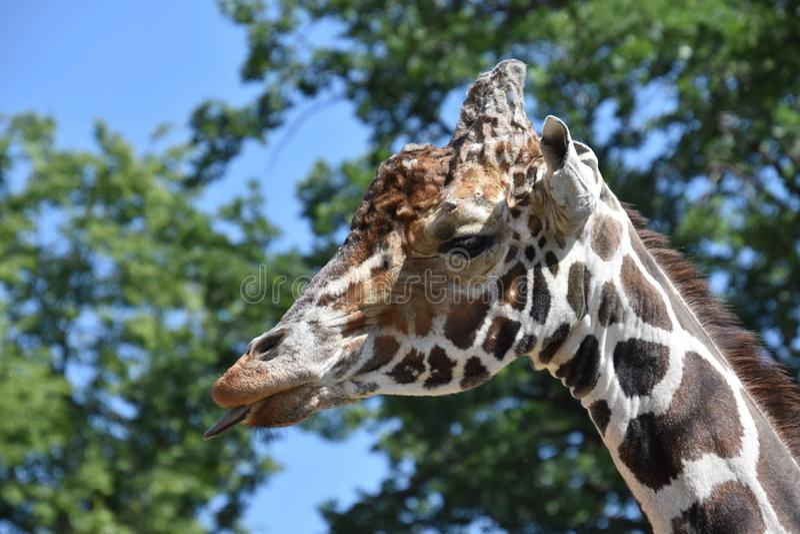 Profile portrait of a giraffe close-up royalty free stock photo