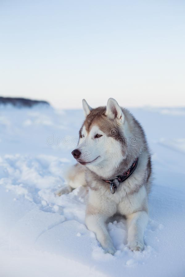 Profile portrait of gorgeous dog breed husky is lying on the snow at sunset and looking into the distance. royalty free stock photography