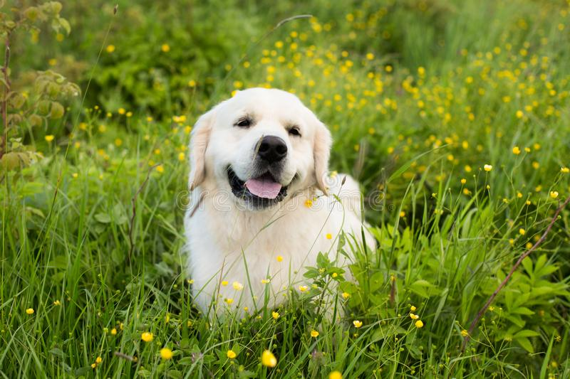 Profile portrait of lovely golden retriever dog lying in the buttercup field in summer royalty free stock photos