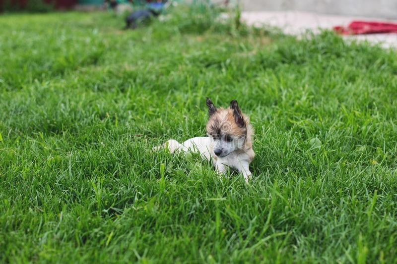Portrait of amber hairless puppy breed chinese crested dog lying in the green grass on summer day. Profile Portrait of lovely amber hairless puppy breed chinese stock photo