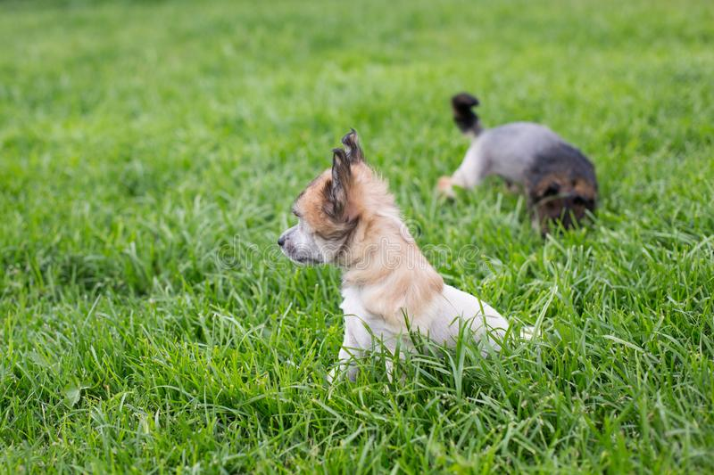 Profile Portrait of amber hairless puppy breed chinese crested dog sitting in the green grass on summer day. Profile Portrait of lovely amber hairless puppy royalty free stock photo