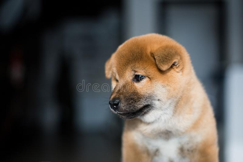 Profile portrait of lovely Shiba Inu dog puppy on a dark background. Red Japanese cute puppy.  royalty free stock photography
