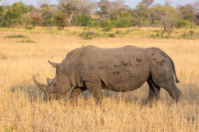 Profile portrait of male white rhinoceros, Cerototherium simium, in African landscape in late afternoon sun royalty free stock photography