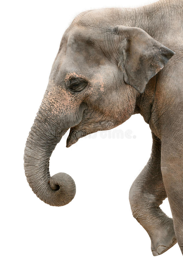 Free Profile Portrait Of A Happy Elephant Royalty Free Stock Images - 54153549