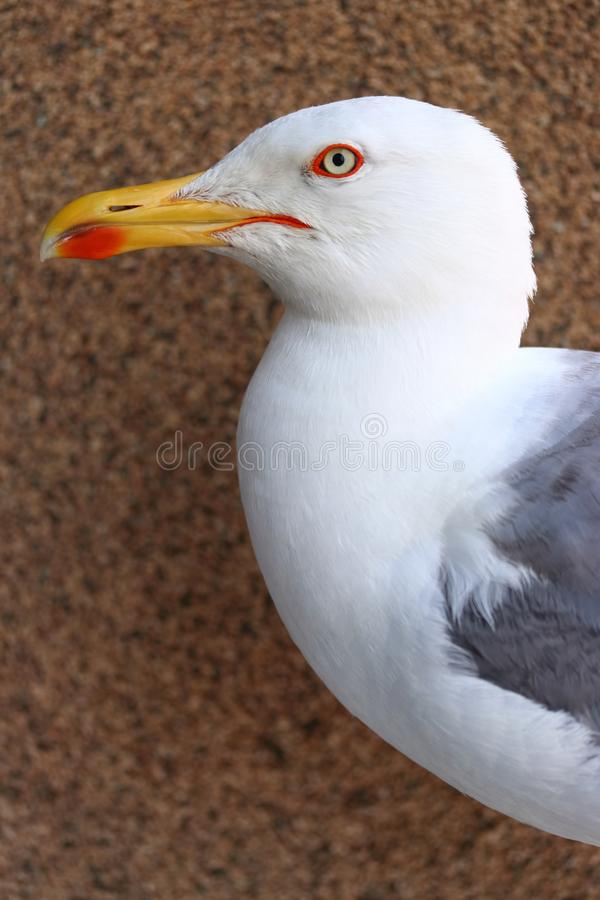 Profile portrait of seagull bird royalty free stock photo