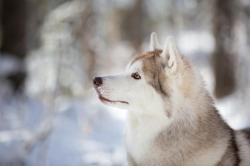 Profile Portrait of stoned gorgeous and free Siberian Husky dog sitting on the snow in the fairy forest in winter stock image