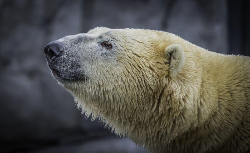 Polar bear profile portrait royalty free stock photography