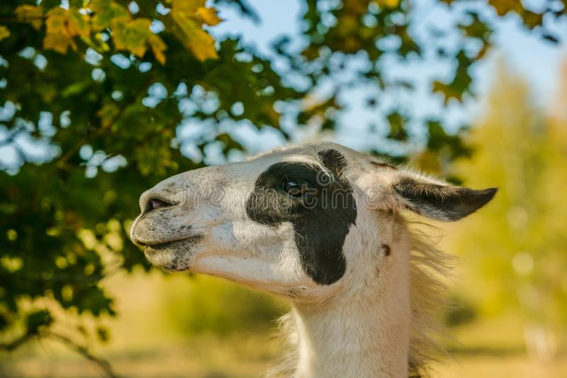 In profile portrait of white and black South American llama royalty free stock photo