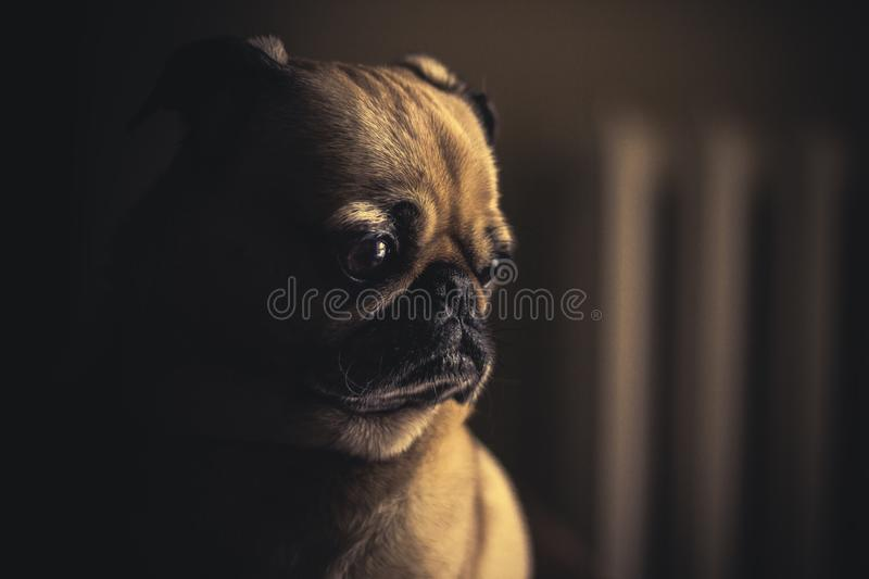 Profile Of Pug Dog Free Public Domain Cc0 Image