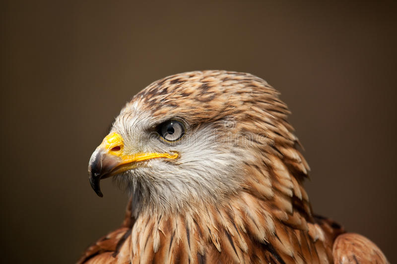 A profile of a Red Kite royalty free stock photo