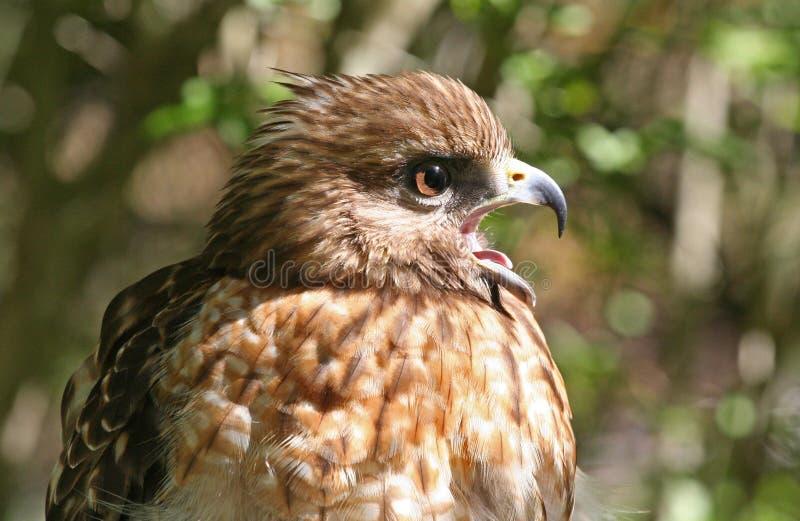 Download Profile Of A Red Shouldered Hawk Raptor Stock Image - Image: 26312725