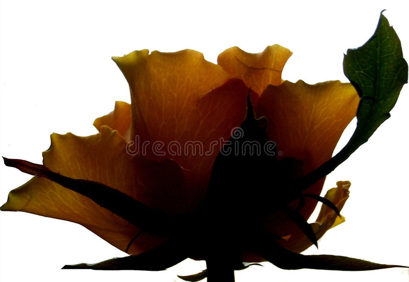 Profile Rose. Yellow rose flower on white royalty free stock photos