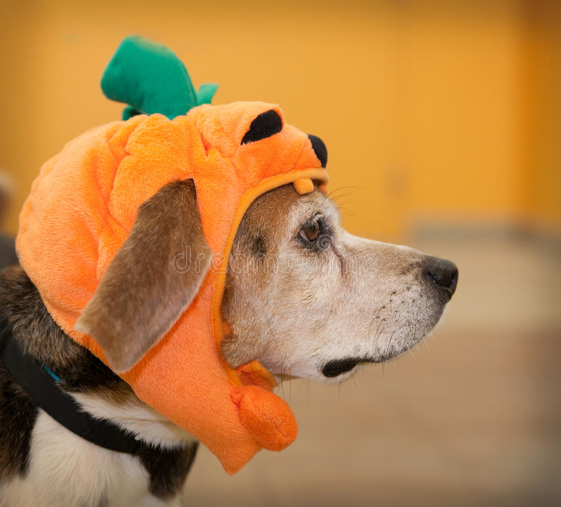 Profile of senior beagle dog wearing Halloween pumpkin costume. Profile of senior beagle dog wearing Halloween costume of pumpkin royalty free stock photo