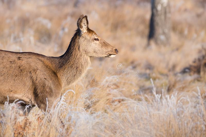 Profile Shot of a Female Red Deer in Essex royalty free stock photo