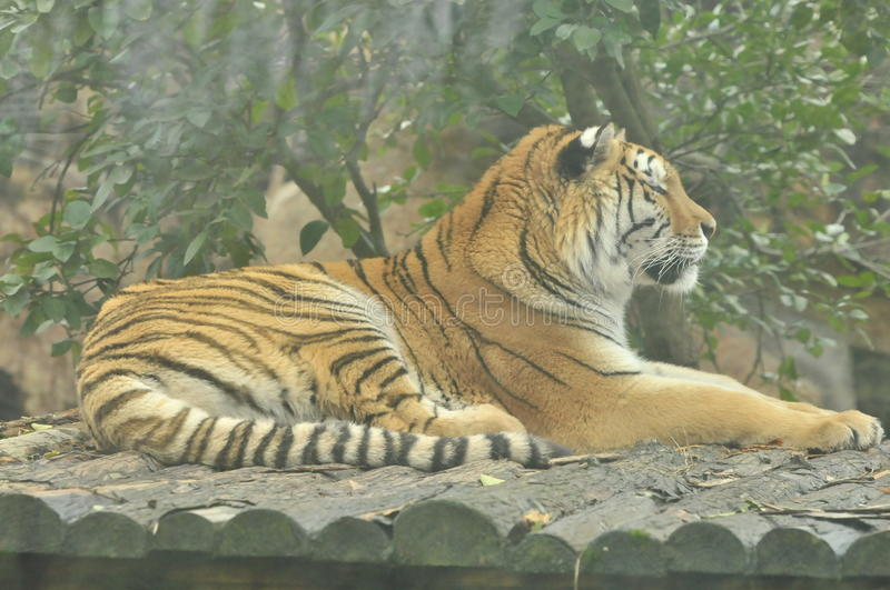 profile of a sleeping tiger on woods royalty free stock photo