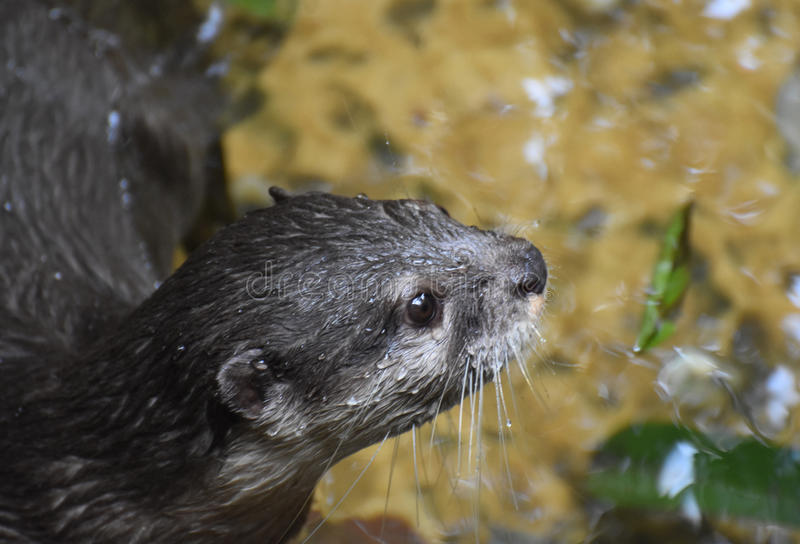 Profile of a Small North American River Otter royalty free stock photography