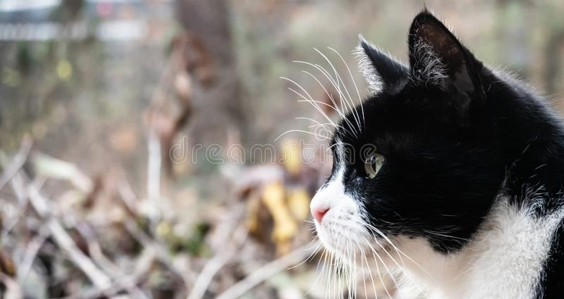 Profile of a small old cat with black and white coat in front of a blurred background with a lot of free space.  stock photography
