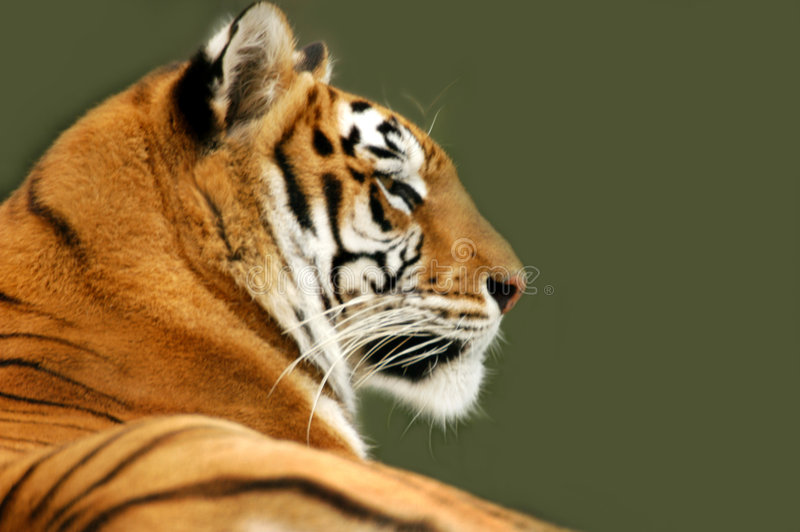 Profile of tiger stock photography