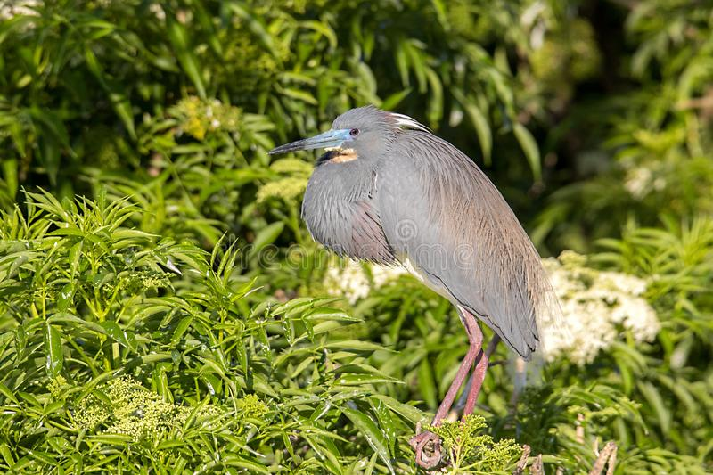 Profile Of A Tri-Colored Heron. In breeding plumage royalty free stock photo
