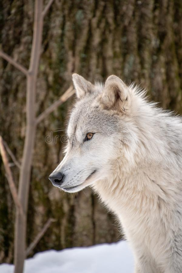 A profile view of an Arctic Wolf in the forest stock photography