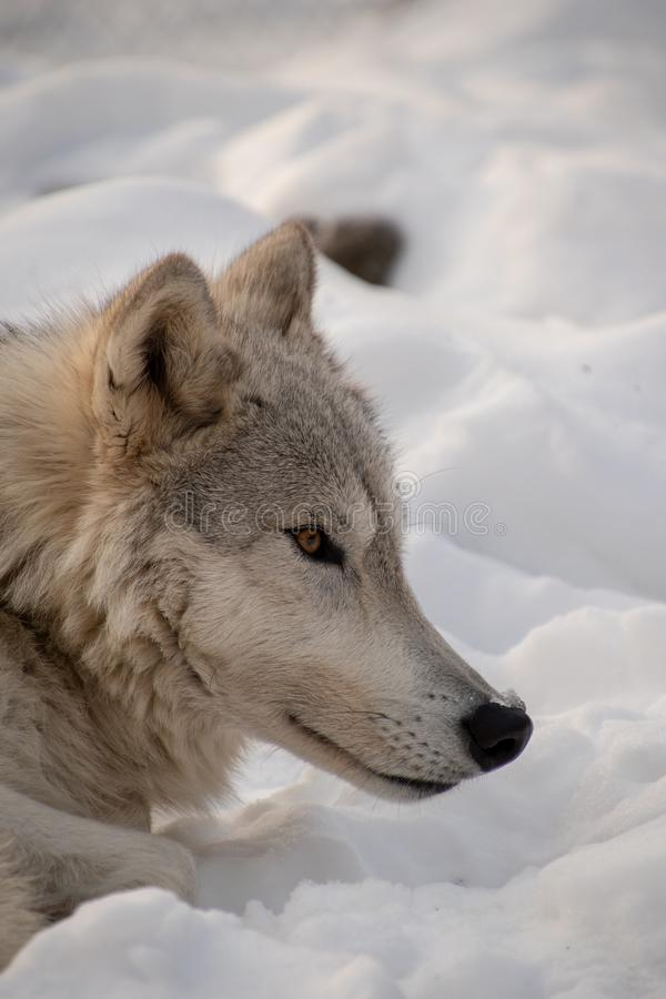 A profile closeup of an Arctic Wolf resting in the snow stock photos