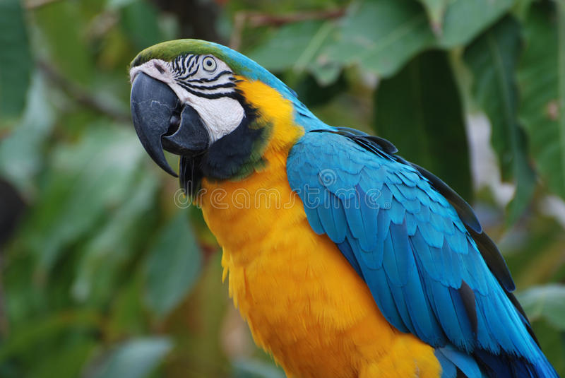 Profile View of a Blue and Gold Macaw stock images