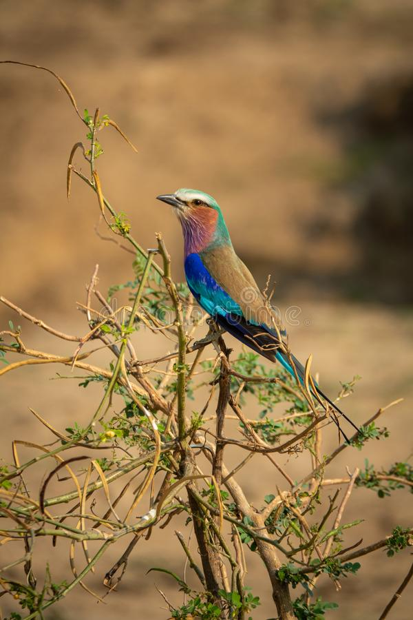 Carraca Lila, Coracias caudatus elegant blue plumage perched on the top tree. Profile view of Carraca Lila in Zambia, Coracias caudatus elegant blue plumage stock images