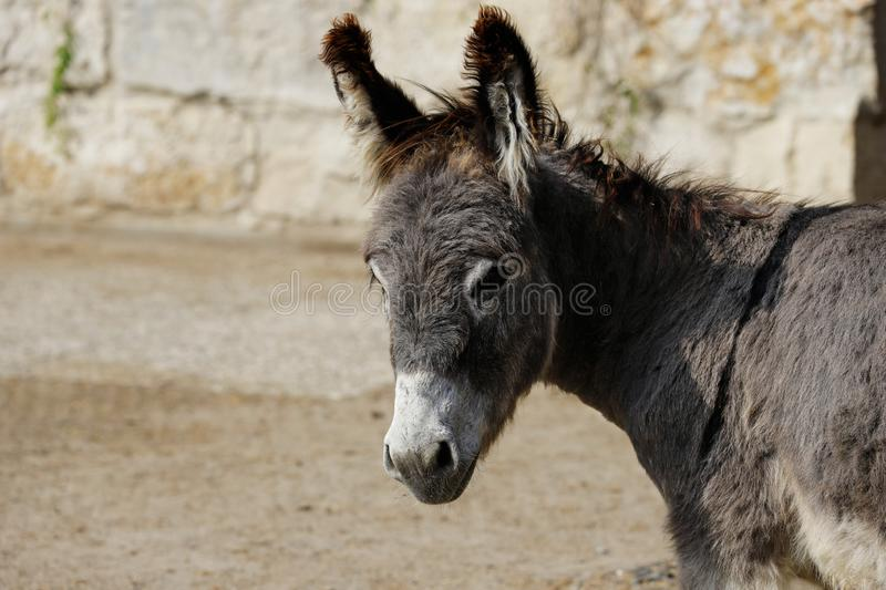 Profile view of domestic grey donkey on the farm. Photography of nature and wildlife royalty free stock image
