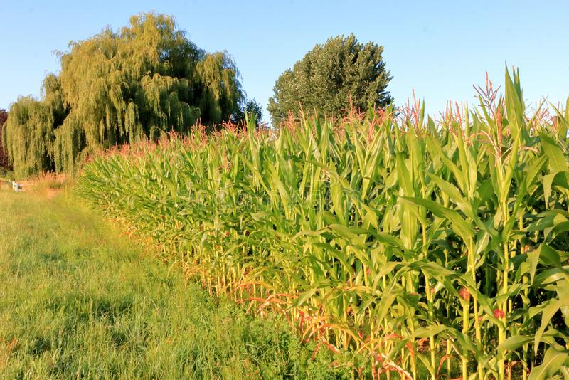 Boundary and Corn with Weeping Willows. Profile view of the edge of a corn field with large, healthy Weeping Willow trees in the background set against a clear royalty free stock photography