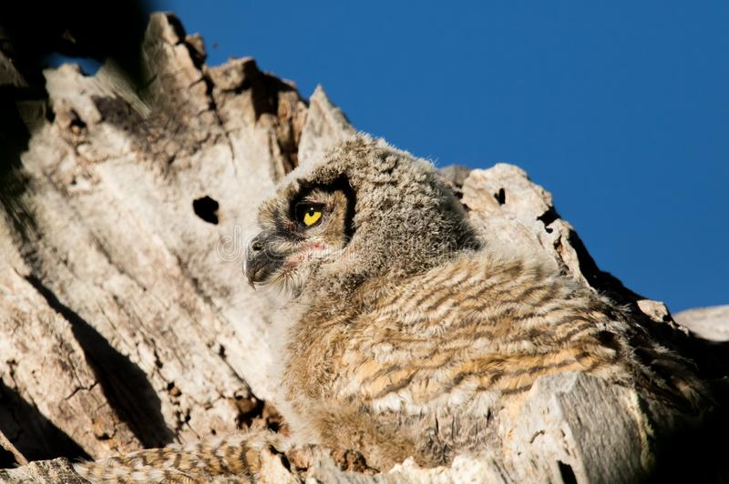 Profile view of juvenile great-horned owl royalty free stock photo