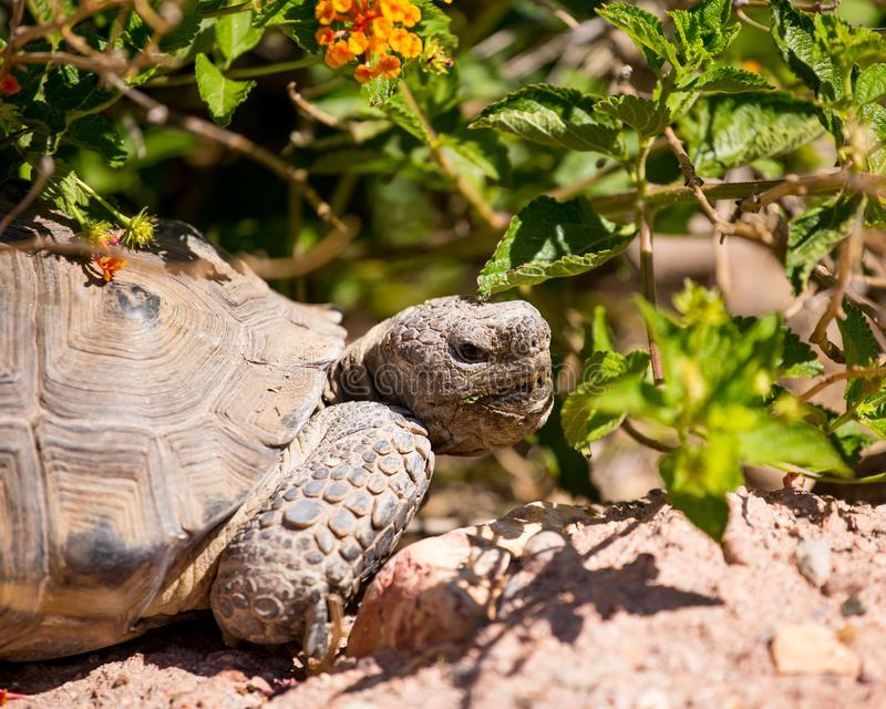 Profile view of Sonoran desert tortoise. Close-up profile of a Sonoran desert tortoise shows it has been eating plants royalty free stock photo