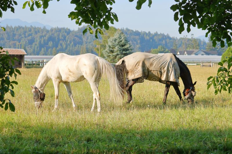 Two Adult Horses Back to Back royalty free stock photography