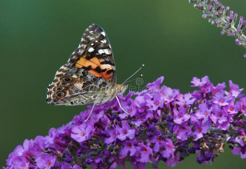 Painted Lady Butterfly on Butterfly Bush royalty free stock photography