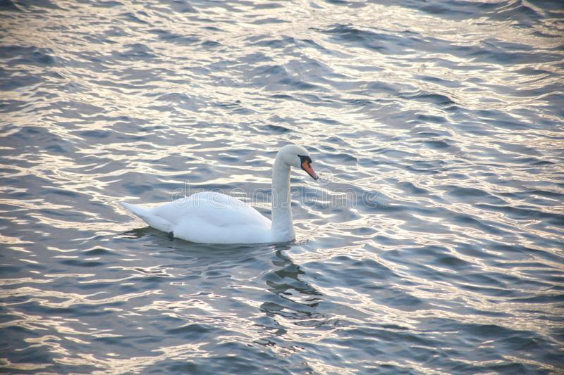 Profile of white swan on blue misty lake. cold winter water. Profile of white swan on blue sea water royalty free stock photos
