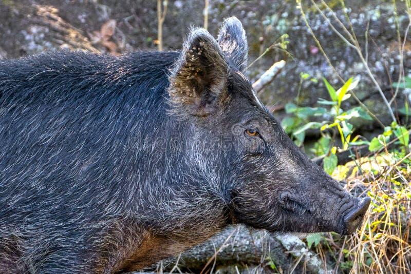 Profile Of A Wild Boar, Hog. Closeup profile of a wild boar, hog stock photography