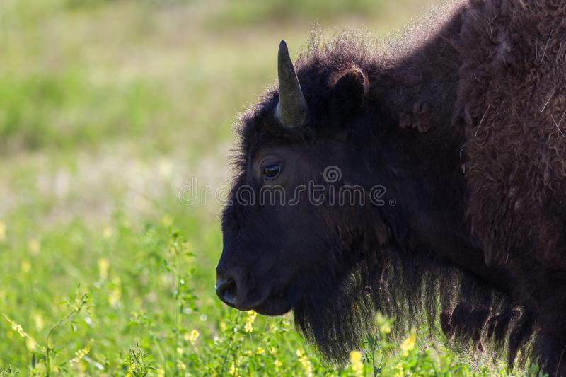 Bison Profile royalty free stock photography