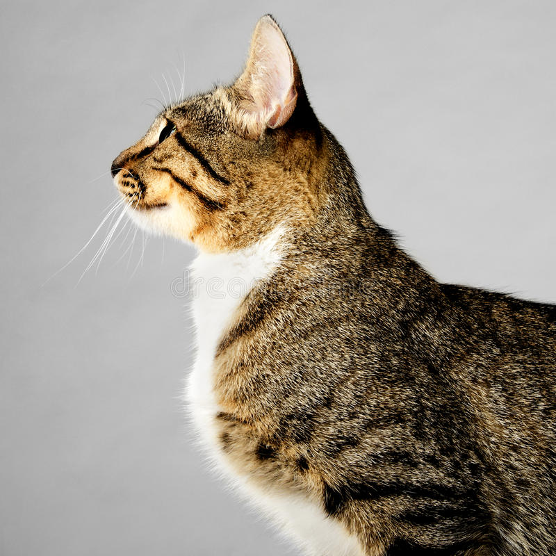 Profile of Young Brown Tabby Cat on Gray Background stock photography