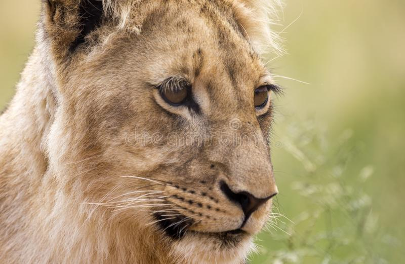 Profile of a young lion. Young lion male. Face of a young male lion. The face of a predator stock photo