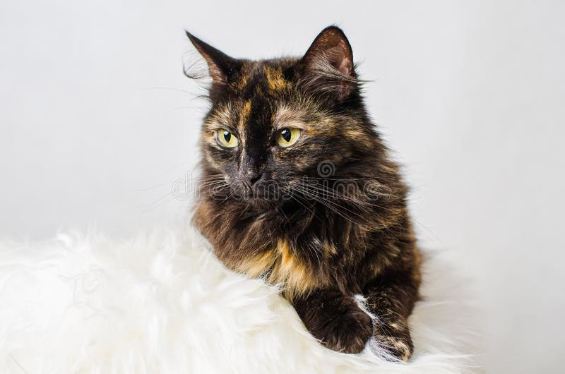 Profile of young tortoiseshell female cat on light background royalty free stock photos