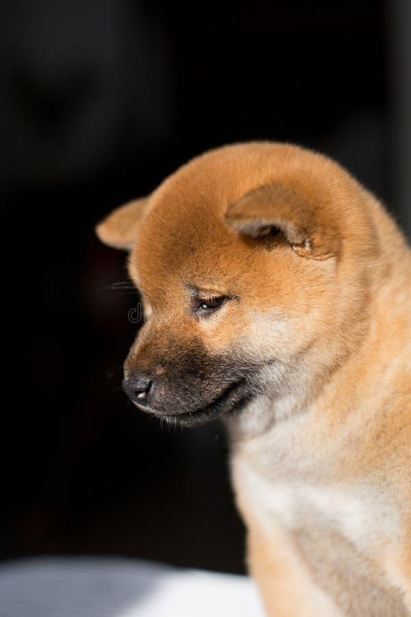 Profilera ståenden av den älskvärda Shiba Inu hundvalpen på en mörk bakgrund royaltyfria foton
